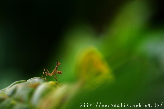 a baby mantis...