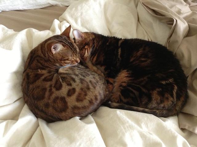 Bengal Snuggles