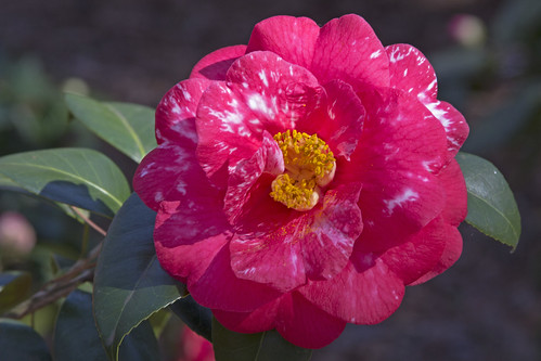 Camelia Japonica 'Georgia Knight Variegated' by bahayla