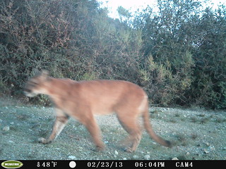 Mountain Lion 2/23/2013 @18:04 San Mateo County; photo taken by motion-sensor camera. Check w/Georgia Stigall for more info.