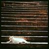 Cat Sheung wan