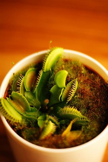 La Dionée attrape-mouche (Dionaea muscipula)