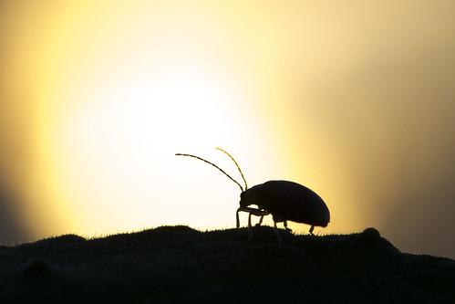 sunset silhouette leaf bettle