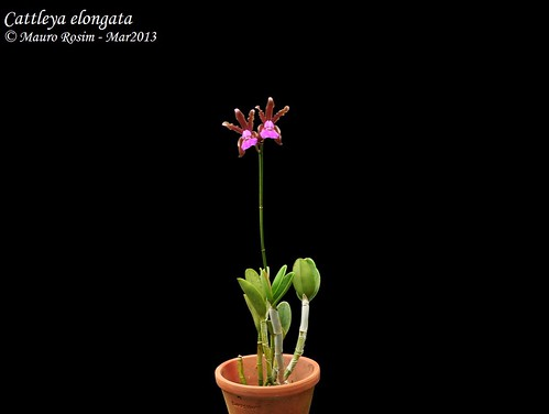 Cattleya elongata by Mauro Rosim