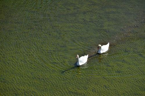 Matsumoto Swans