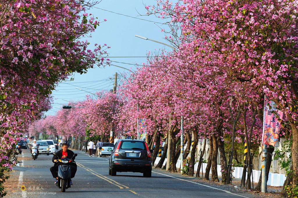 粉色行道樹
