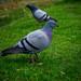 Pigeon Eyes
