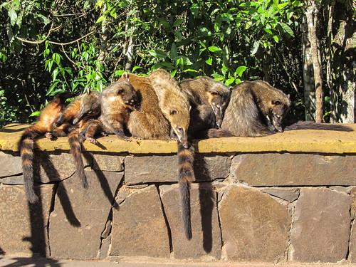 Les chutes d'Iguazu: des coatis