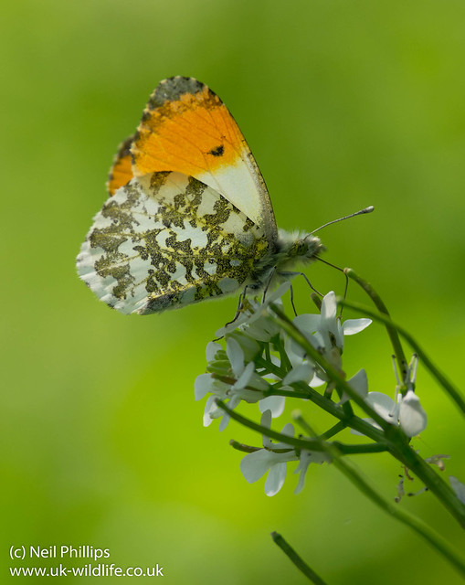 male orange tip butterfly 3