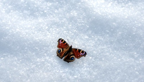 I've never seen a butterfly in the snow