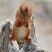 Red squirrel in winter by VisitScotland