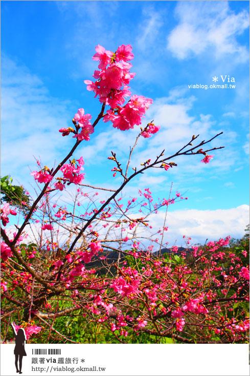 【沖繩櫻花】全日本最早的櫻花~沖繩賞櫻名所「八重岳櫻之森公園」