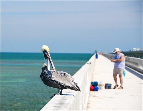usa vanishingpoint fishing florida pelican brownpelican floridakeys cpl pelecaniformes pelecanusoccidentalis 7milebridge explored nikon18200mmvrii nikond7000