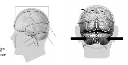 58294main_The.Brain.in.Space-page-34-brain-model.png.jpeg