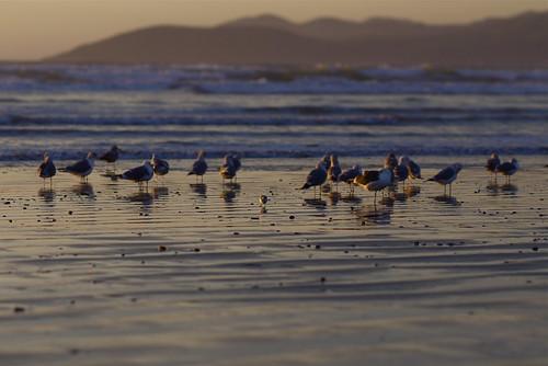 ocean sunset lumix sand panasonic pacificocean coastline sandpipers centralcalifornia mft tiltshiftlens gf2 oceanobeach madeinukraine fotodioxadapter microfourthirds m43rds eostom43 photex35mmf28stlens