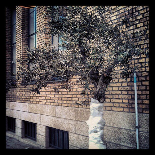 sad olive tree #delft