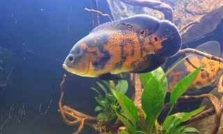 oscar_cichlid_fish_care