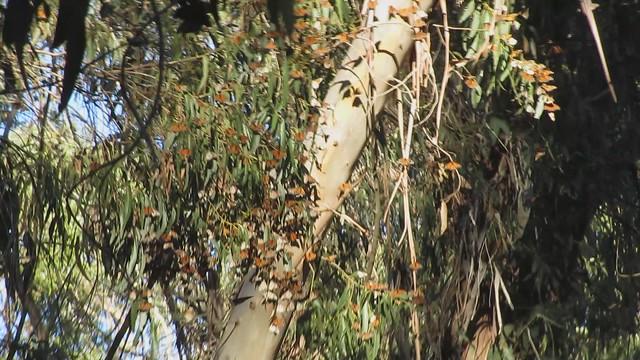 MVI_6540 shaky monarch butterflys flying 8s