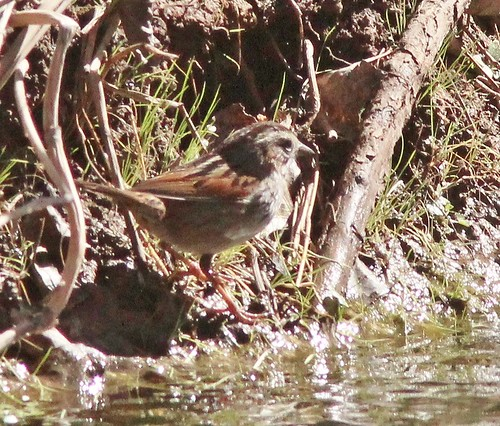 138Swamp sparrow San Pedro hse along river Feb. 14, 2013