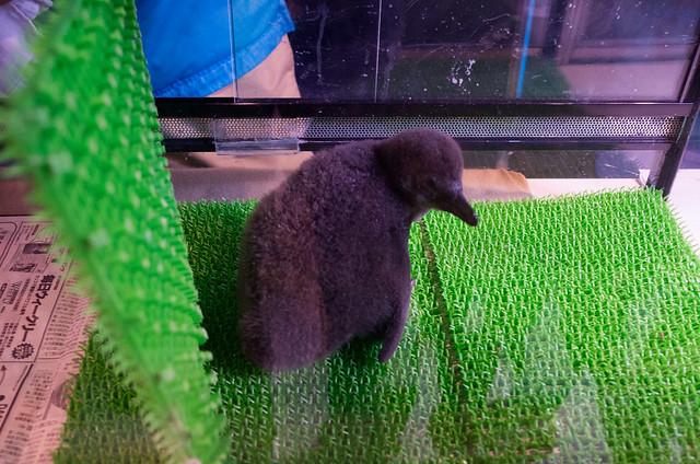 ペンギンの雛