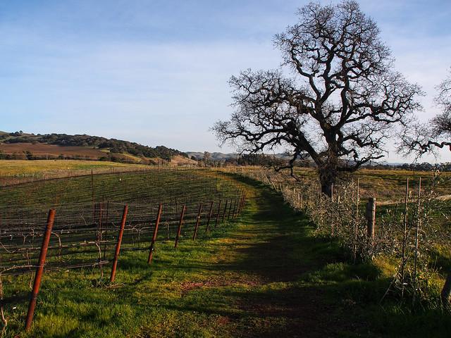 Walking the Meritage Vineyard