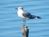 Laughing Gull by Ramona H