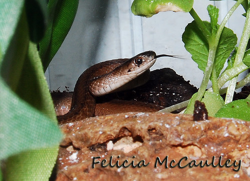 Northern Brown Snake