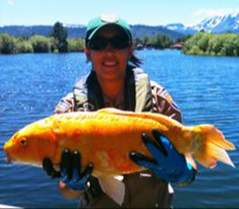 Brianne O'Rourke, with the California Department of Fish and Wildlife, holds a large goldfish found in the Tahoe Keys of Lake Tahoe. (Photo courtesy of the California Department of Fish and Wildlife)