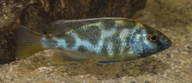 Livingston cichlid (Nimbochromis livingstonii) Flickr - Photo ...