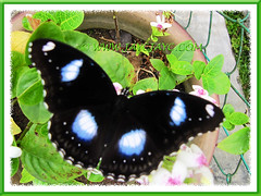 Hypolimnas bolina (Great/Common Eggfly or Blue Moon Butterfly) in our garden, Feb 2013
