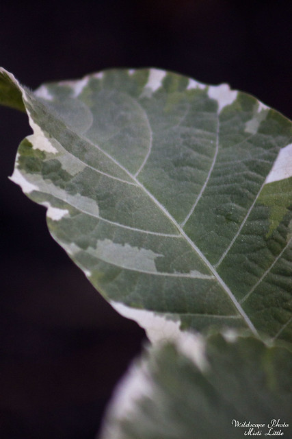 variegated brugmansia 2