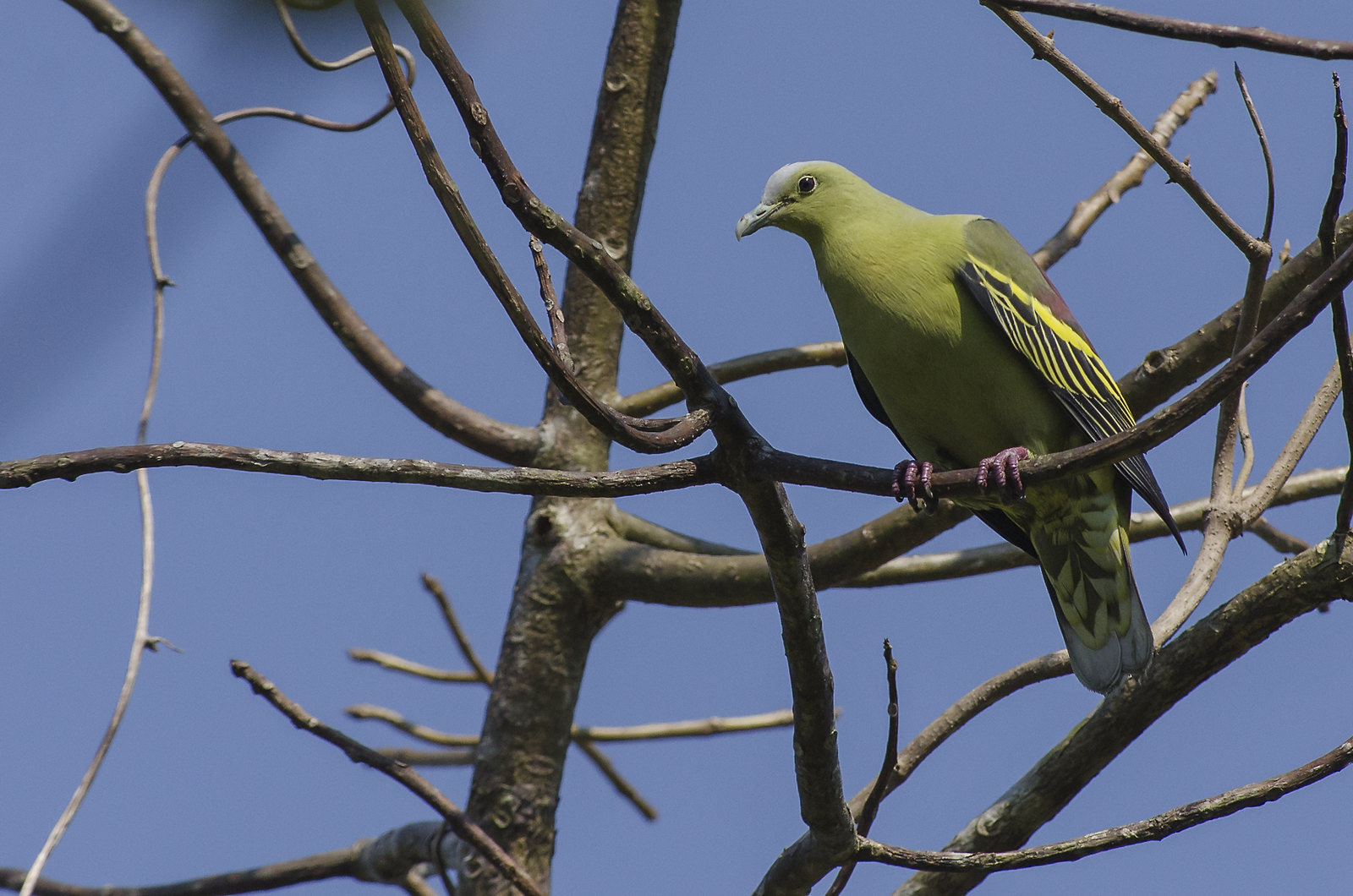 Andaman Green Pigeon (Treron chloropterus) | Location: South ... Endemic Species Nicobar Pigeon