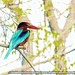 King fisher-1