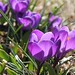 The crocuses appear and Spring begins.... by Riversongfcr
