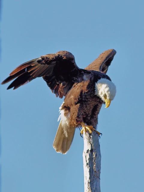 Bald Eagle roosting 7-20130328