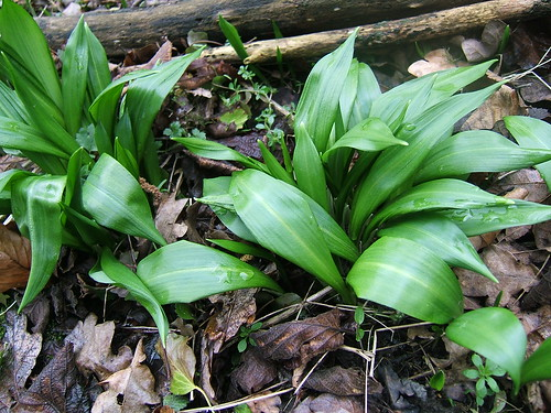 Early Ramsoms (wild garlic) leaves