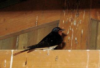 Ladusvala / Barn Swallow