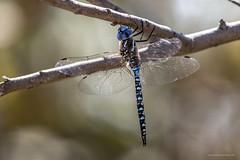 Blue-eyed Darner male