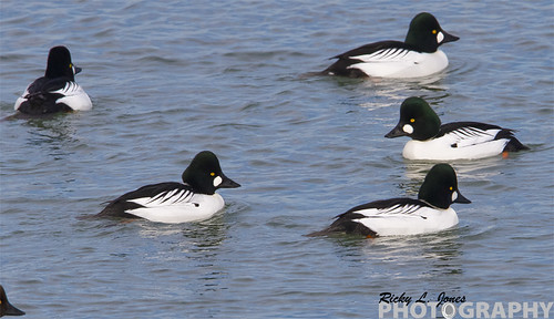 Common Goldeneye (Bucephala clangula) Commonly called Whistlers by Ricky L. Jones Photography