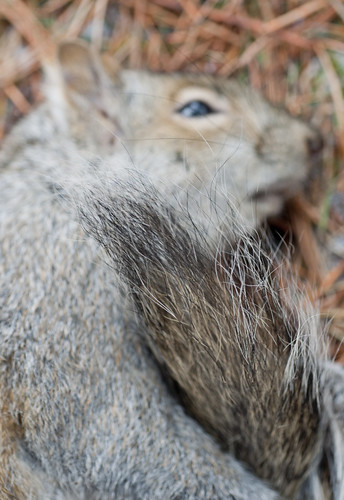 Gray Squirrel I