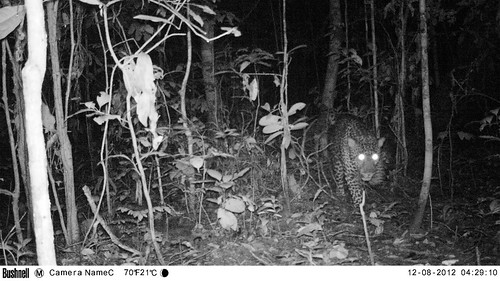 leopard seen 3 locations