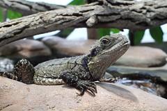 Australische Wasseragame - Physignatus lesueurii - Australian water dragon