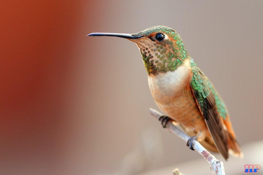 Allen's Hummingbird 011513-3