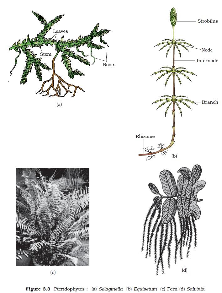 Ncert Class Xi Biology Chapter 3 Plant Kingdom Aglasem Schools