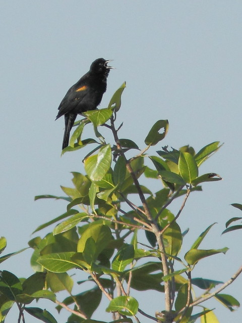 Red-winged Blackbird 20130128