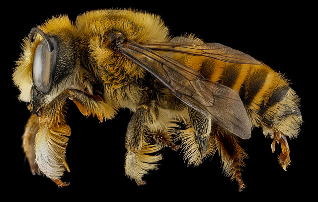 Megachile fortis, U, side, Jackson County, South Dakota_2013-01-29-17.41.37 ZS PMax