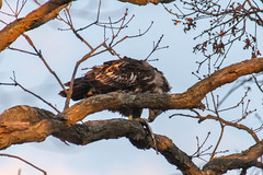 Fledgling Eagle 31 jan 2013