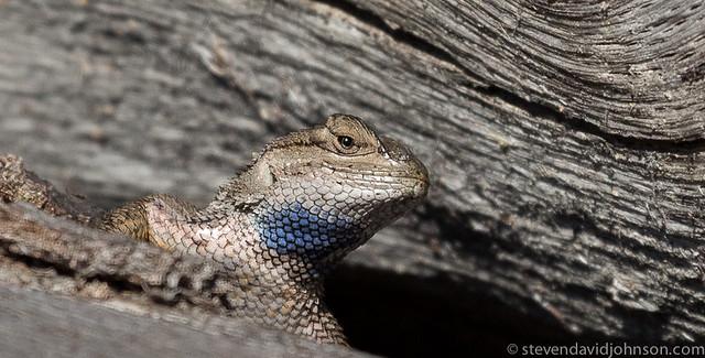 Western fence lizard, Lincoln, Oregon