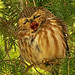 Big Yawn (Saw Whet Owl) by Catsbow