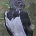 Small photo of Harpy Eagle - Harpia harpyja, Belize Zoo, Belize